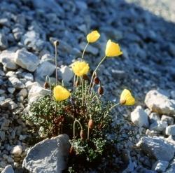 Alpenflora: Dolomiten Mohn