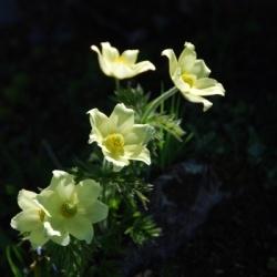 Botanische Wanderungen in Aosta: Schwefelanemone